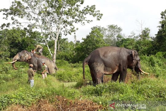 """Gajah tertua dikerahkan untuk halau  """"Kelompok 11"""""""