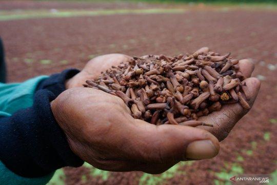 Petani masih merugi, harga cengkih Manado bertahan Rp76.000/kg