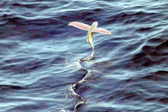 SKIPM Mamuju awasi ekspor ikan terbang ke Jepang