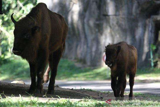 TSP tambah koleksi tiga Bison Eropa-Amerika