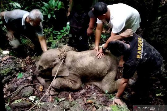 Anak gajah liar terjerat jebakan di Aceh Timur