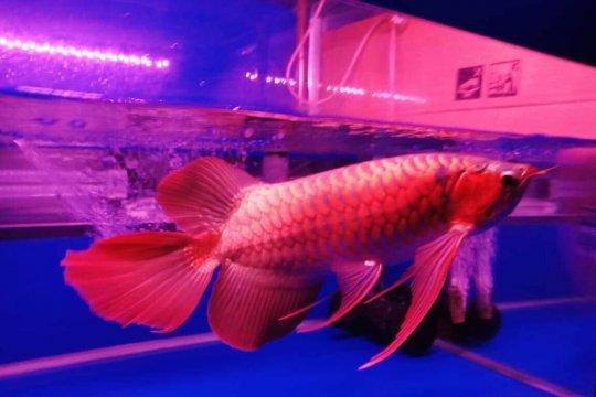 Kontes arwana super red Kapuas Hulu dipadati pengunjung