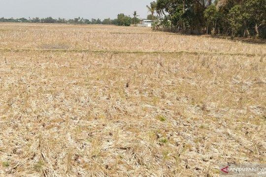 Lahan sawah enam kecamatan di Karawang rawan kekeringan