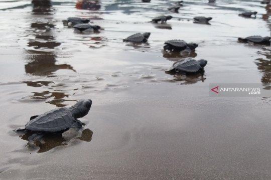 Warga Kampung Yenbekaki di Raja Ampat telah lepas 2.000 tukik ke laut
