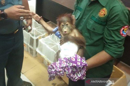 Bea Cukai Dumai gagalkan penyelundupan orangutan dan musang luwak