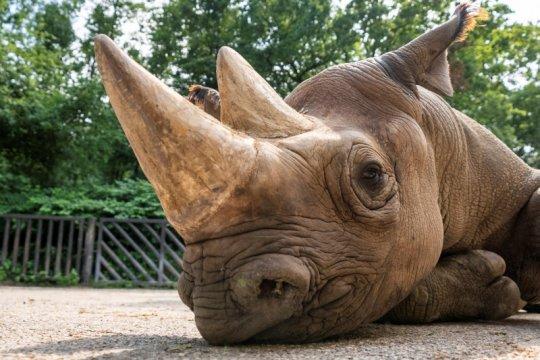 Afrika Selatan potong cula badak untuk cegah lonjakan perburuan