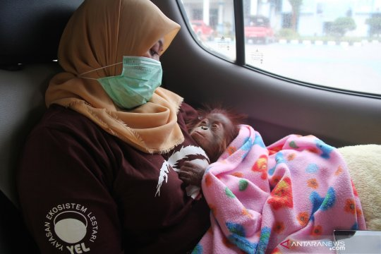 Orangutan korban penyelundupan di Riau dikirim ke Batu Mbelin