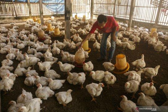 Di kabupaten ini peternak tidak rugi, meski harga ayam tengah anjlok