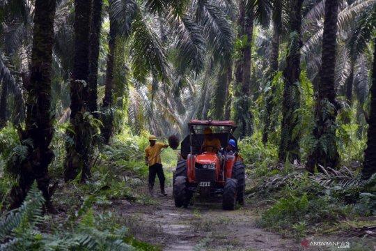 Harga sawit Riau turun dipengaruhi harga jual CPO
