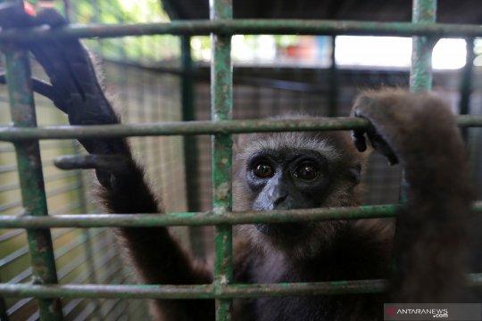 Penyitaan Owa Sumatera