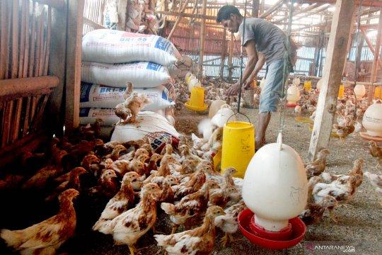 Harga ayam potong di Baturaja Sumsel anjlok
