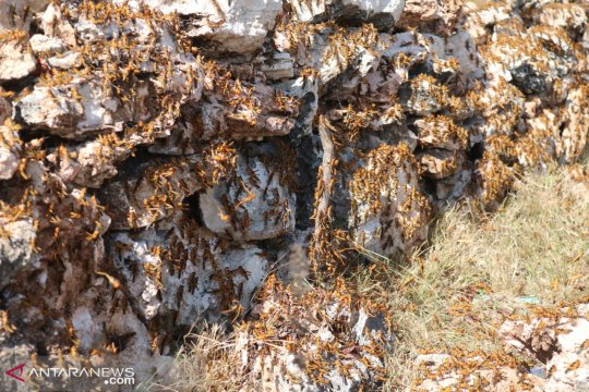 Kasus belalang kumbara jadi perhatian serius pemerintah