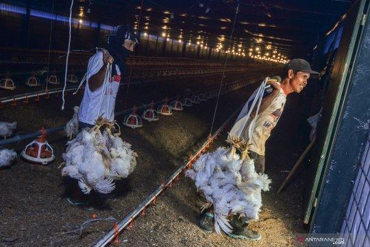 Kementan dan Satgas Pangan telusuri penyebab disparitas harga ayam