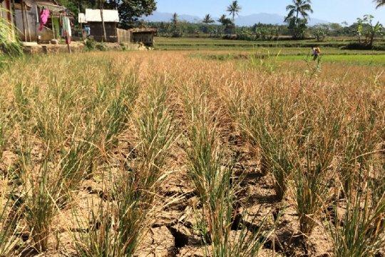 Puluhan hektare sawah di Tasikmalaya terancam gagal panen