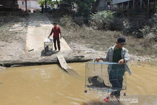 Sekeluarga kera ekor panjang di Pararawen dilepasliarkan BKSDA Kalteng