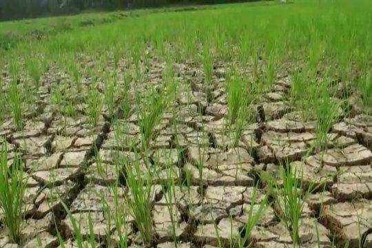 Ratusan hektar sawah di lebak mulai kekeringan