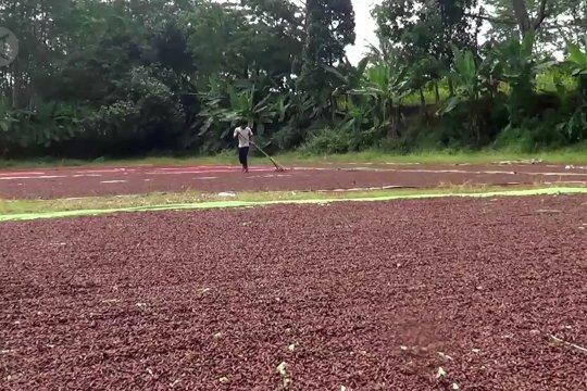 Petani cengkih di Batang mulai panen raya