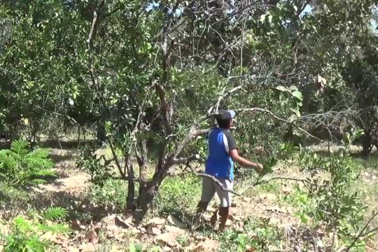 Puluhan hektare tanaman jeruk pamelo di Magetan mati