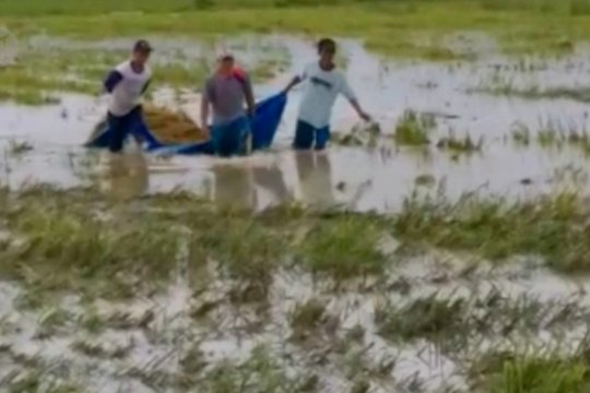 Ratusan hektar sawah terendam banjir, petani panen lebih awal