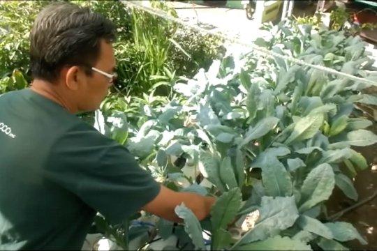 Sayuran Kale mulai dikembangkan di Gunungkidul