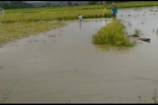 Siapkan bibit untuk 10.000 hektar, Kementan bantu kerugian petani