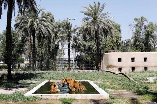 Hewan berendam karena kepanasan di sebuah kebun binatang di Irak