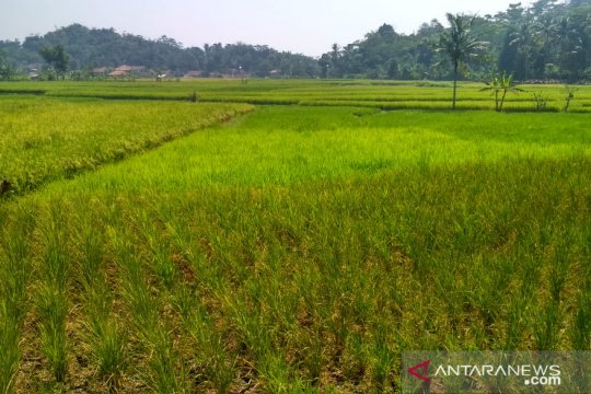 Irigasi ambrol, seribuan hektare sawah di Cianjur terancam puso