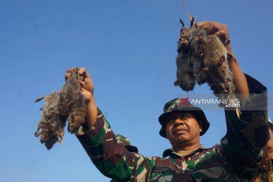 "Petani dan TNI di Tulungagung gelar ""gropyokan"" basmi hama tikus"
