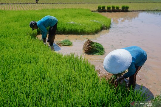 Pemerintah perlu bibit unggul agar hasilkan 85 juta ton padi