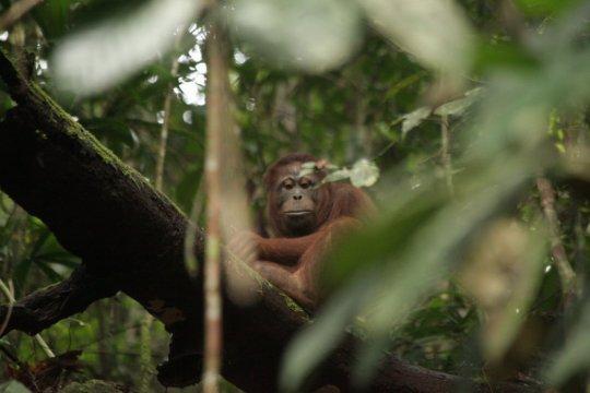Tiga orangutan dilepasliarkan di Taman Nasional Bukit Baka-Bukit Raya