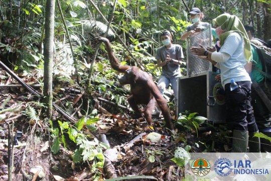 BKSDA-IAR Indonesia lepasliarkan lima orangutan