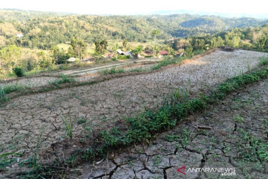 93 hektare tanaman padi di Bantul puso akibat kekeringan