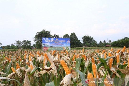Balitbangtan ungkap fosfat alam tingkatkan produktivitas jagung