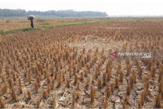 Dampak kekeringan, petani di Bekasi diimbau tunda tanam padi
