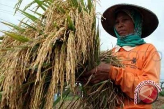 Bantul pastikan ketersediaan beras tidak terpengaruh sawah puso