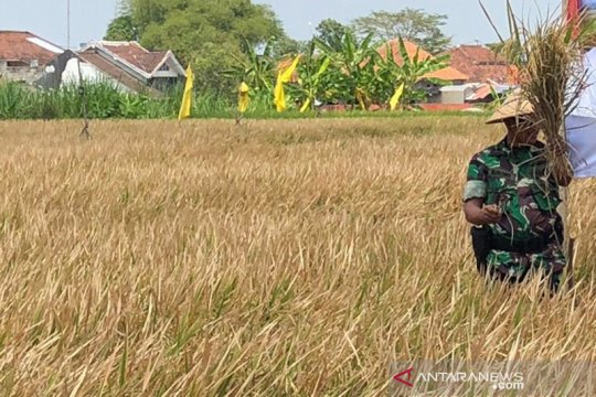 Sebagian besar petani Yogyakarta panen di awal kemarau
