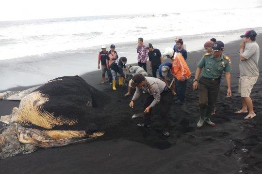 Polisi bersama warga kubur bangkai paus di Lumajang