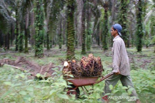 Dua kelompok tani di Mukomuko terima bantuan dana peremajaan sawit
