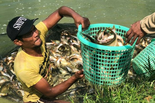 Potensi ekspornya besar, KKP pacu pengembangan budi daya ikan patin