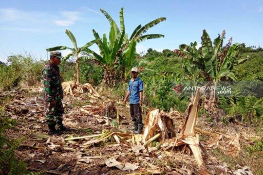 Gajah liar mengamuk dan rusak kebun warga di Nagan Raya Aceh