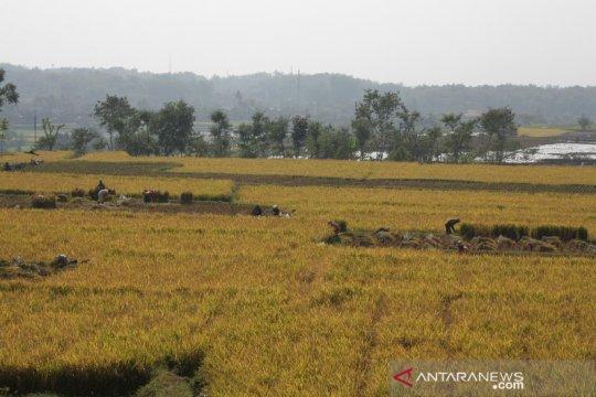 Produksi beras di Jabar tetap surplus di musim kemarau