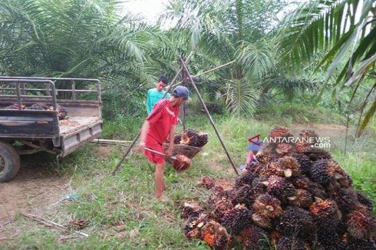 Harga sawit petani Mukomuko naik Rp40/kilogram