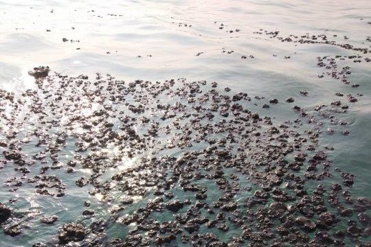 Warga gotong-royong bersihkan tumpahan minyak mentah di bibir pantai