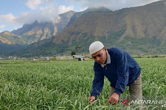 Dijadikan benih, bawang putih Lombok akan dikembangkan tiga provinsi