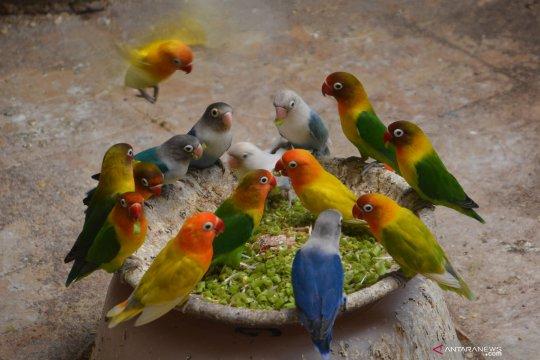 Ternak burung lovebird di Jombang