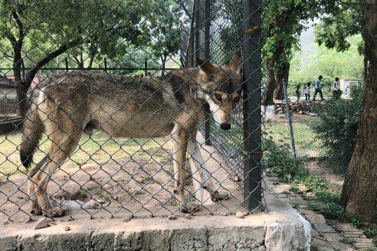 Pejabat Pakistan bertengkar gara-gara serigala kurus