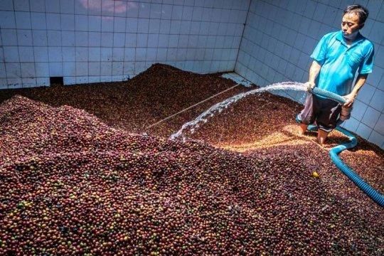 Menyortir biji kopi kering robusta Page 2 Small