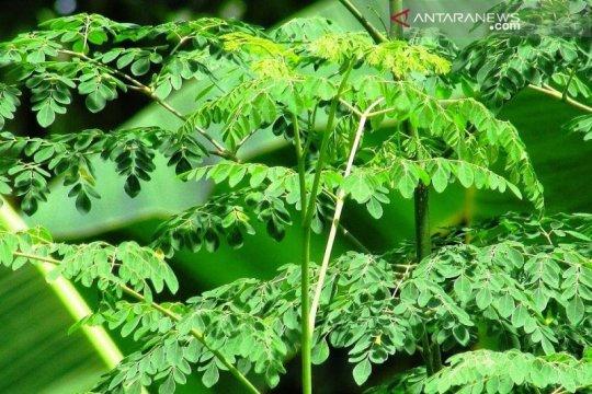 Mungkinkah daun kelor bisa atasi kekerdilan di NTT?