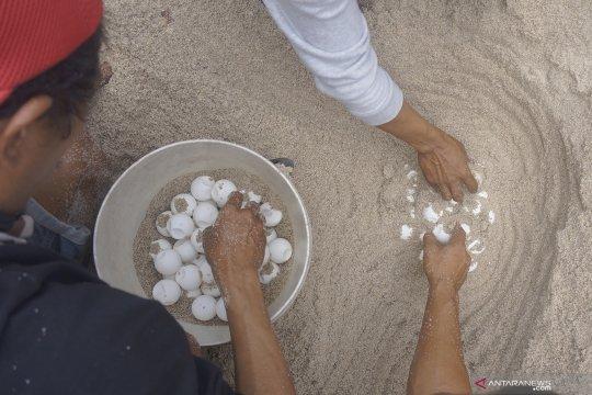 Upaya konservasi penyu di Pantai Jung Pakis