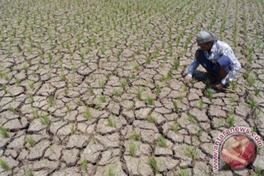 Ratusan hektare sawah di Madiun kekeringan